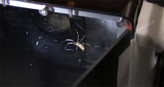 This still from a NASA video shows one of two venemous golden orb spiders in an enclosure on the International Space Station. The spiders, Gladys and Esmerelda, were delivered to the station by NASA's shuttle Endeavour during the STS-134 mission in May 2011.