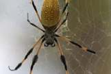<b>Monday, October 31, 2011</b>: Happy Halloween from SPACE.com! This spider, a female Nephila clavipes (golden orb spider), shown here in her web, is of the same type as two spiders who flew to the International Space Station in May 2011. Those two arachnids, dubbed Gladys and Esmeralda by astronaut Cady Coleman, were part of a scientific investigation called Commercial Generic Bioprocessing Apparatus Science Insert-05, or CSI-05, followed by students the world over. Intriguingly, the golden orb spider usually spins a three dimensional, asymmetric web on Earth, but in space they spin more circular webs. <br /><br />— Tom Chao