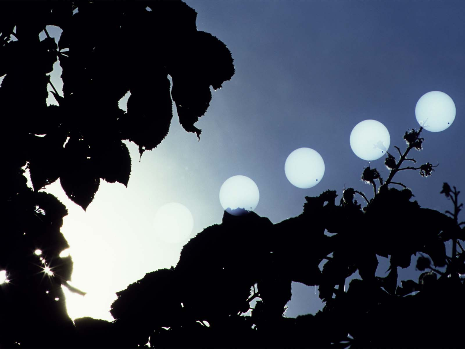 Venus Transit Between the Leaves