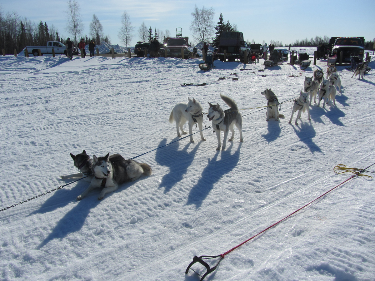 Sled Dogs at the Ready