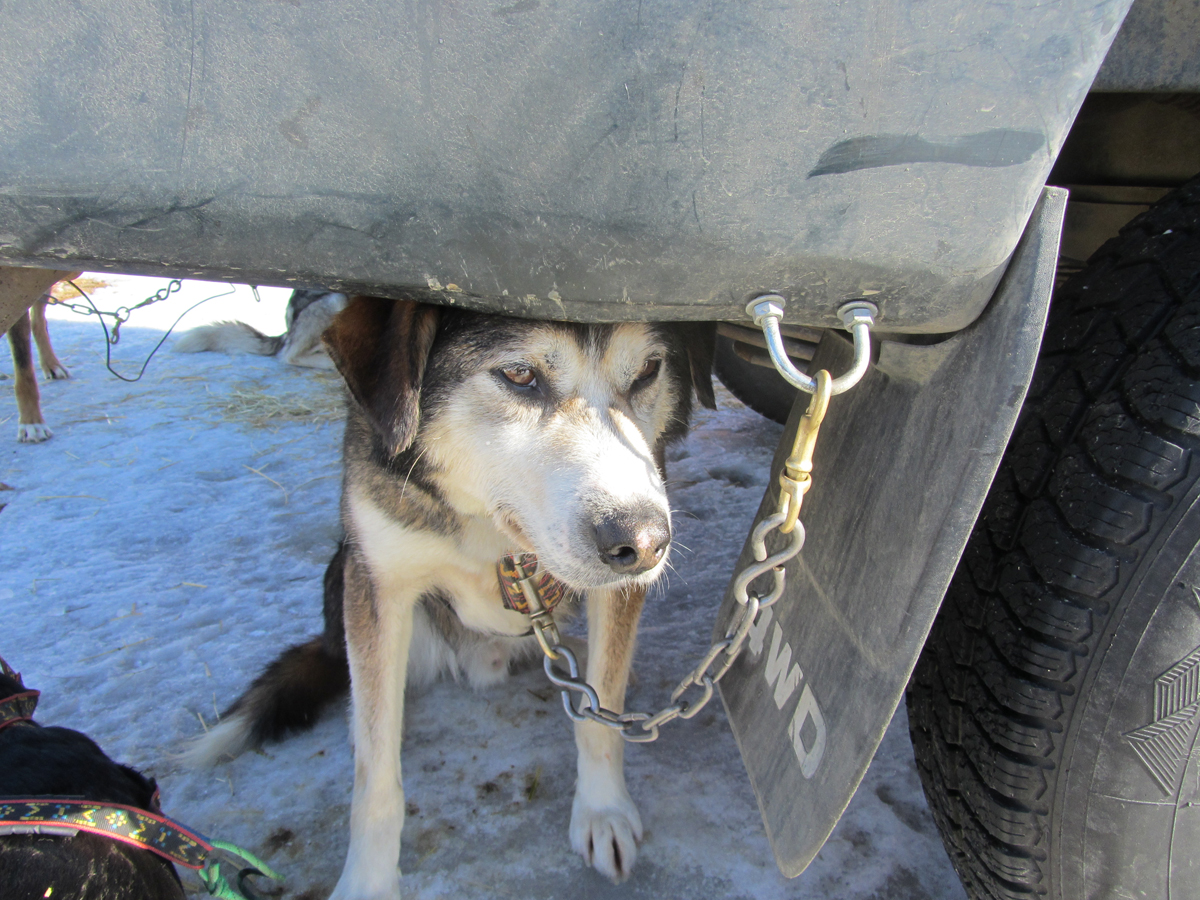 Sled Dog Under a Car