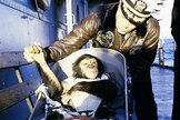 Ham the chimpanzee after his successful suborbital spaceflight of Jan. 31, 1961.