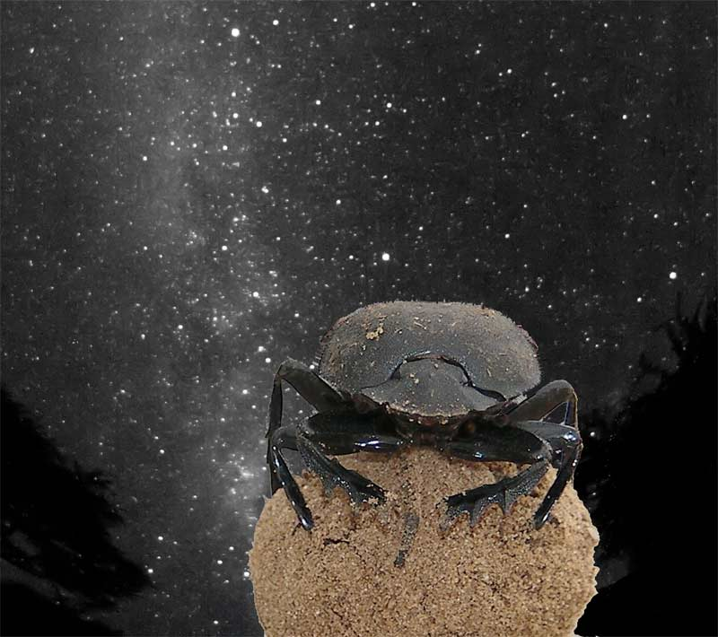 Wow! Dung Beetles Navigate by the Stars