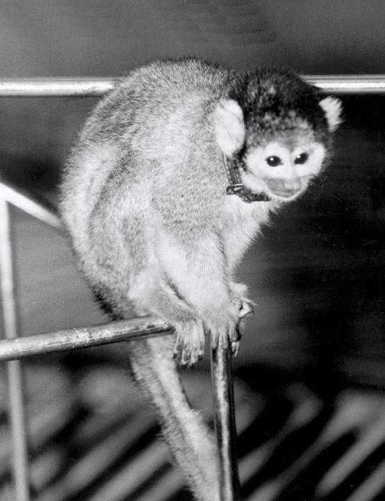 Baker Squirrel Monkey