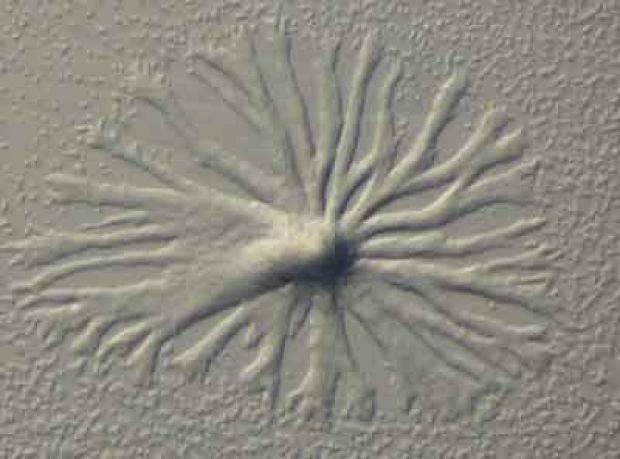 Slime Mold, Dictyostelium Discoideum