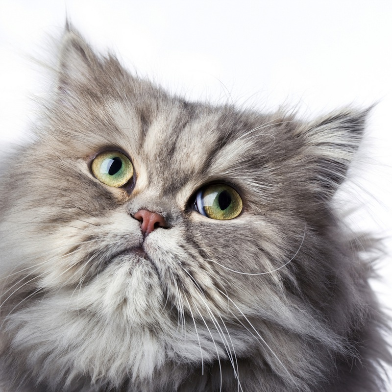 Iran Plans to Send Persian Cat to Space, Reports Say
