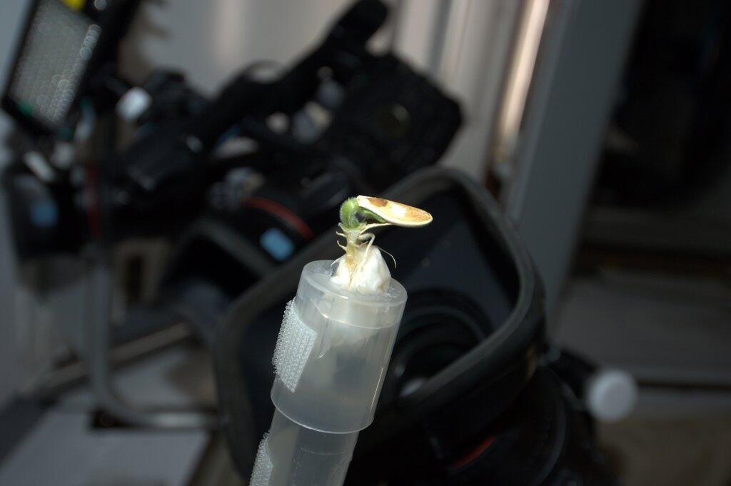 Mike Hopkins on ISS: Sprout Tries to Break Out of Shell
