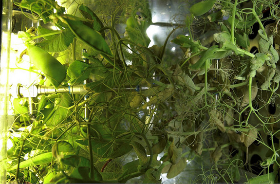 Plants grow inside the space station's experimental greenhouse named Lada.