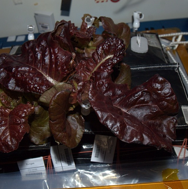 ISS Lettuce Grown by Crew