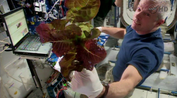 NASA astronaut Steve Swanson holds a fistful of lettuce grown on the International Space Station as part of the Veggie experiment to test space crops in orbit.
