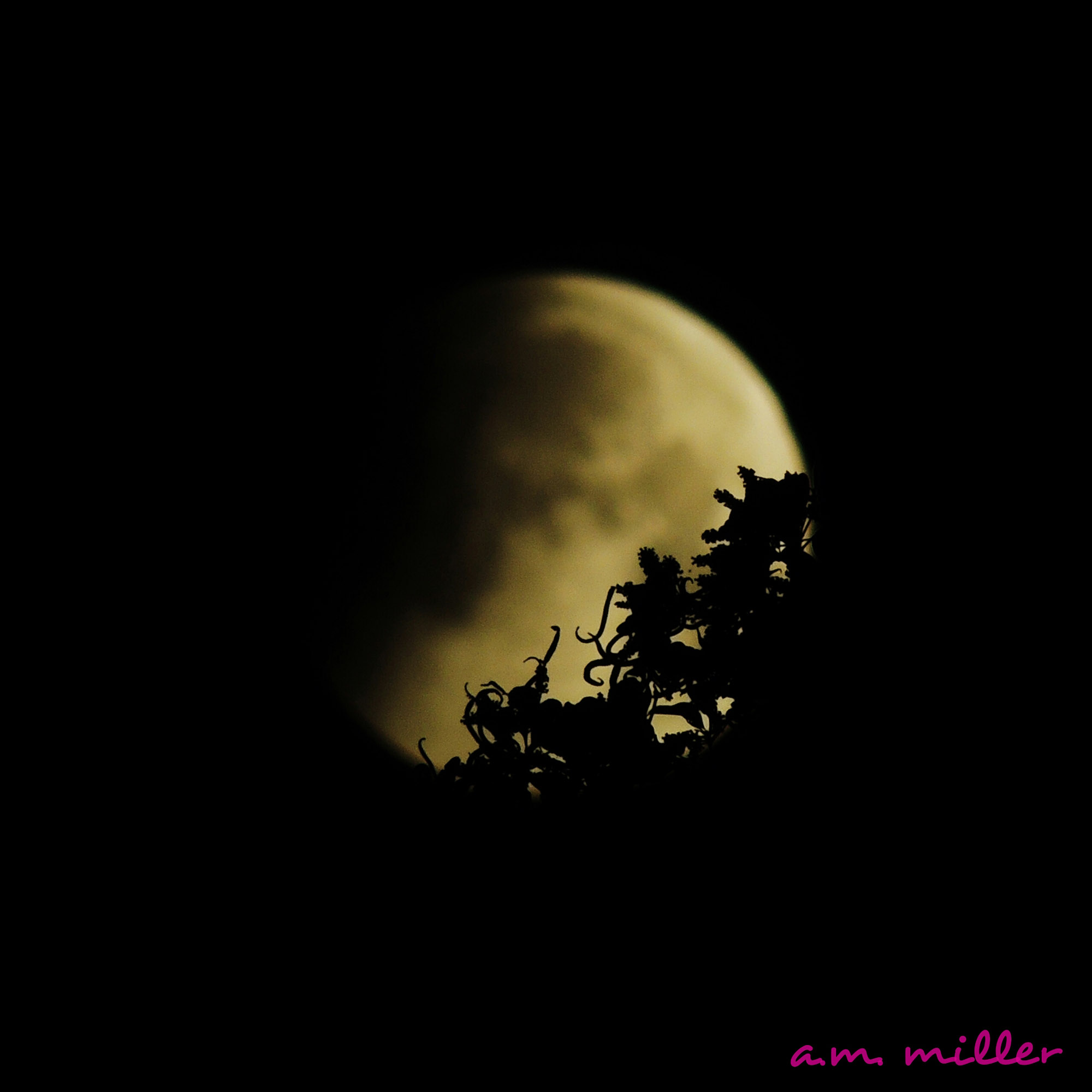 Lunar Eclipse in the Trees: A.M. Miller
