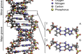 A schematic of a DNA molecule. The four nucleobases – A, T, C and G – are shown at right. Note the repeating backbone of oxygen, carbon and phosphorus throughout the double helix structure of DNA.