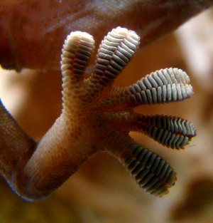 JPL researchers were inspired by gecko feet, such as the one shown here, in designing a gripping system for space. Just as a gecko's foot has tiny adhesive hairs, the JPL devices have small structures that work in similar ways.