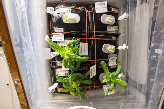 The zinnias on the International Space Station in December before the mold issue arose. The pillows in Veggie are labelled as such: Pillow A (top left), Pillow B (top right), Pillow C (middle left), Pillow D (middle right), Pillow E (bottom left) and Pillow F (bottom right).
