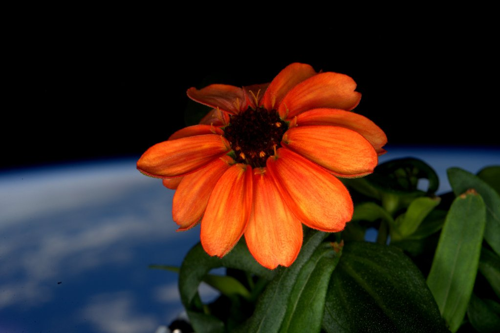A Garden Grows in Space: First Zinnias Bloom, to Astronaut's Delight