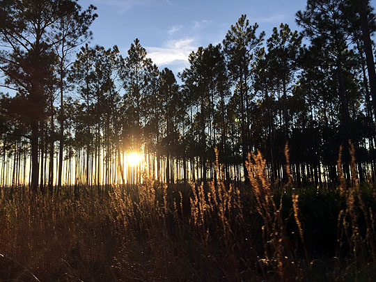 Sunset Over Osceola National Forest